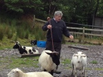 2 sheepdog demonstration